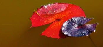 Feuilles colorées de nénuphar Photo stock