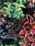 Feuilles colorées de vue supérieure de fond de Blumei de coleus d'ortie Painted et texturisées dans le jardin d'agrément en Thaïl photo libre de droits