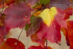 Feuilles colorées en quelques automnes sur une branche Image stock