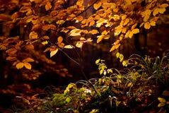Feuilles colorées lumineuses sur les branches dans la forêt d'automne Photographie stock libre de droits
