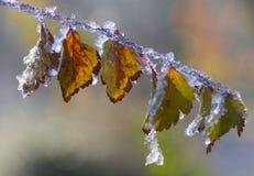 Feuilles congelées Image libre de droits
