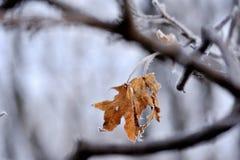 Feuilles congelées d'érable jaune Photographie stock libre de droits