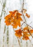 Feuilles congelées de chêne Images libres de droits