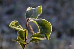 Feuilles congelées de vert Image stock