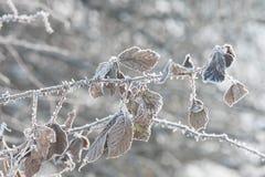 Feuilles couvertes de gel pendant l'hiver Photographie stock libre de droits
