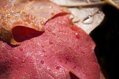 Feuilles couvertes de rosée d'érable Photographie stock