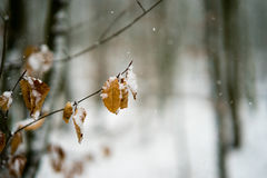 Feuilles couvertes par neige dans une forêt Photo libre de droits