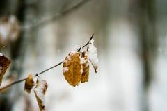 Feuilles couvertes par neige dans une forêt Photographie stock libre de droits
