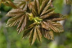 feuilles d'érable Photographie stock libre de droits