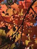 Feuilles d'érable accrochant en automne Image stock