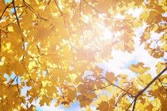 Feuilles d'érable d'automne avec des rayons du soleil Photographie stock