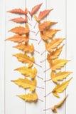 Feuilles d'érable colorées Image libre de droits