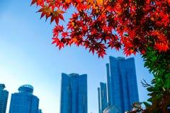 Feuilles d'érable colorées pendant la saison d'automne à Busan, Corée du Sud photos stock