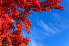 Feuilles d'érable d'automne Images stock
