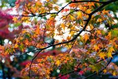 Feuilles d'érable d'automne Photos stock