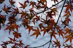 Feuilles d'érable d'automne Image libre de droits