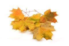 Feuilles d'érable d'automne d'isolement Image libre de droits