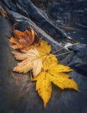 Feuilles d'érable d'automne se reposant sur une roche Image libre de droits