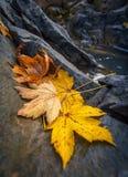 Feuilles d'érable d'automne se reposant sur une roche Photos stock