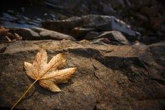 Feuilles d'érable d'automne se reposant sur une roche Photographie stock