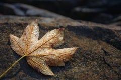 Feuilles d'érable d'automne se reposant sur une roche Photo stock