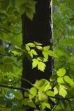 Feuilles d'érable dans la lumière arrière Photographie stock libre de droits