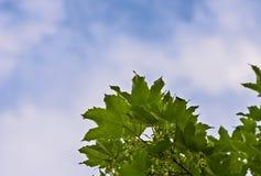 Feuilles d'érable et un ciel bleu photos stock
