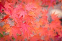 Feuilles d'érable pendant le seaso d'automne photographie stock libre de droits