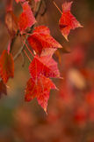 Feuilles d'érable rouge Photographie stock