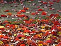 Feuilles d'érable rouge au sol images libres de droits