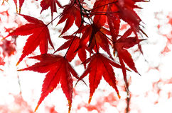 Feuilles d'érable rouge en automne photos stock