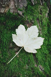 Feuilles d'érable sur un tronc d'arbre Images libres de droits