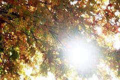 Feuilles d'érable sur une brindille en automne Images libres de droits