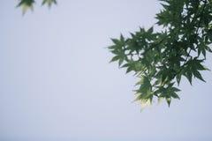 Feuilles d'érables japonais photographie stock libre de droits
