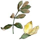 Feuilles d'acacia dans un style d'aquarelle d'isolement Images stock
