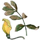 Feuilles d'acacia dans un style d'aquarelle d'isolement Image libre de droits