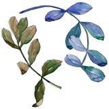 Feuilles d'acacia dans un style d'aquarelle d'isolement Photo libre de droits