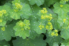 Feuilles d'alchémille vulgaire et bourgeon floraux jaunes avec des gouttes de l'eau Photos stock