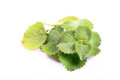 Feuilles d'ammi de Trachyspermum Photo stock