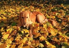 Feuilles d'amour de chien Photographie stock