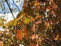 Feuilles d'arbre d'érable Photos stock