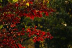Feuilles d'arbre d'érable japonais image libre de droits