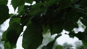 Feuilles d'arbre après pluie banque de vidéos