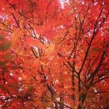 Feuilles d'arbre d'érable rouge en automne Photo libre de droits