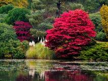 Feuilles d'arbre d'Acer changeant la couleur Photo libre de droits