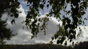 Feuilles d'arbre de bouleau à l'automne ou à l'été clips vidéos