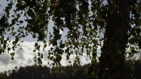 Feuilles d'arbre de bouleau à l'automne ou à l'été banque de vidéos