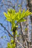 Feuilles d'arbre de cendre au printemps Images libres de droits