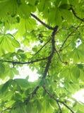 Feuilles d'arbre de châtaigne images libres de droits