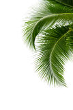 Feuilles d'arbre de noix de coco d'isolement sur le fond blanc Photo stock